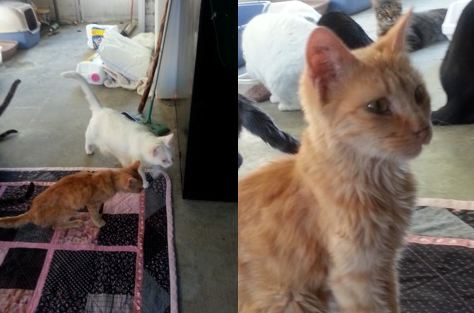 Cornflake, a young orange tabby, was emaciated