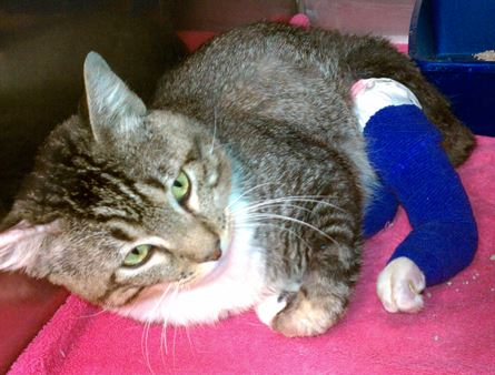 Ziggy with two legs bandaged